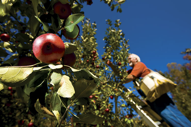 Jack Bailey picks apples at Mountain View Orchard in TN