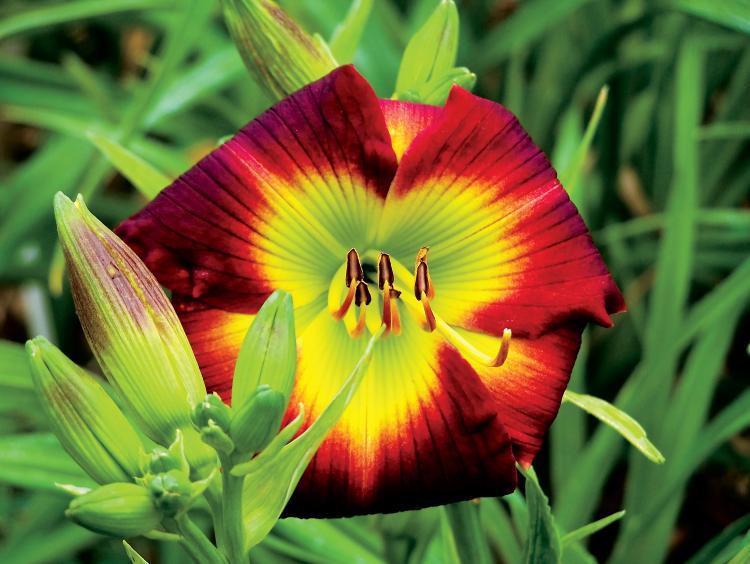 Daylilies in Delano, TN
