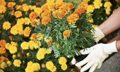 marigold tips