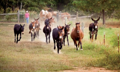 Mule Day