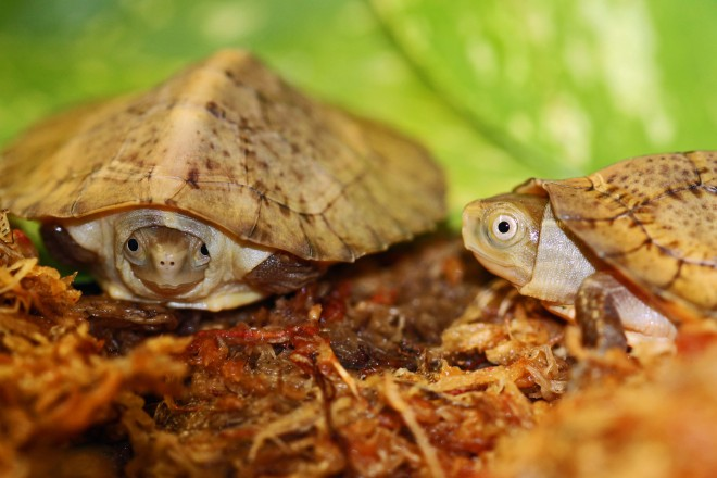 ... turtles, a species that has been listed as endangered, hatched at the
