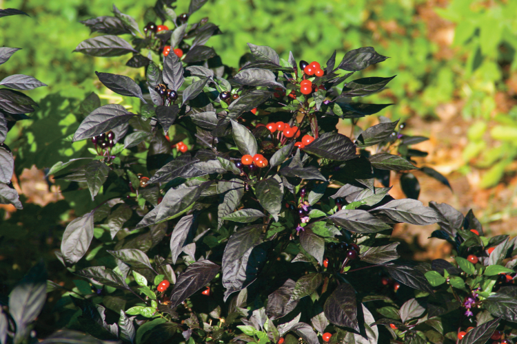 Black Pearl Chili Peppers