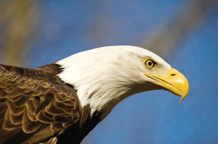 Bald eagle at Reelfoot Lake in West Tennessee