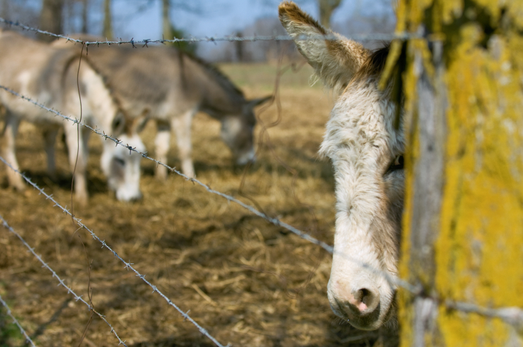 Adopt Wild Burros at Carr's Ranch in Tennessee