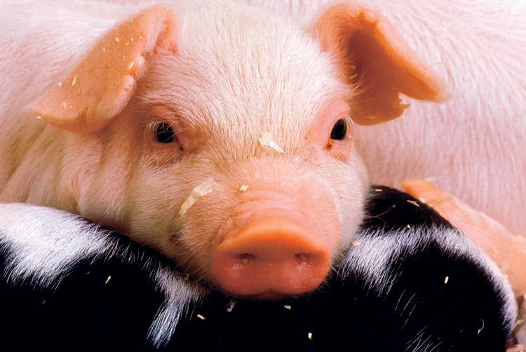 pig, piglets, pork