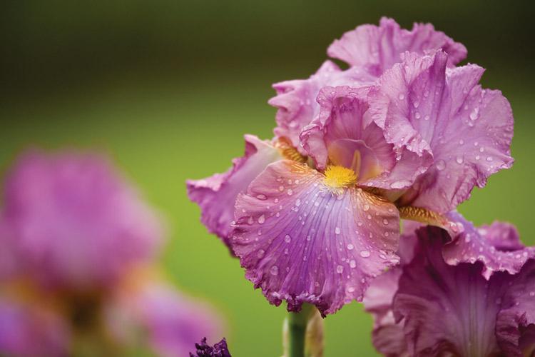 Iris Garden at Ellington Agricultural Center