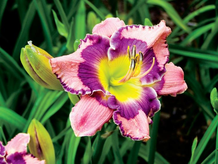 Delano Daylilies in Tennessee
