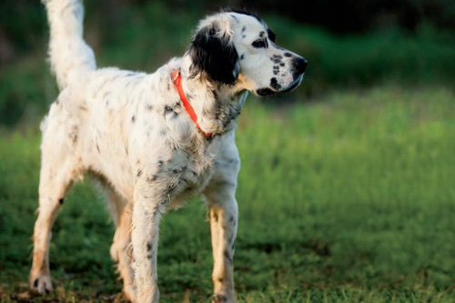 Hunting Dog at Meadow Brook Farms