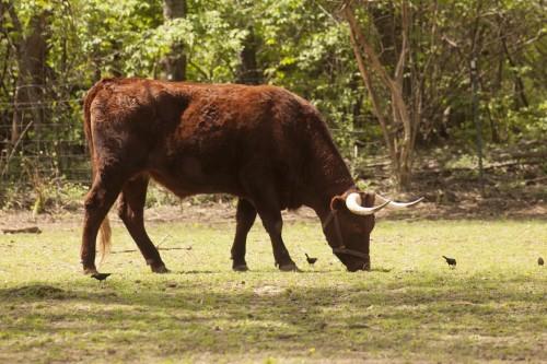Milking Devon steer