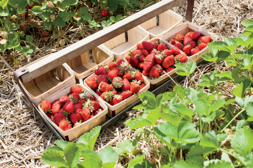 berry picking tips