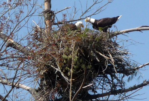 Eagle Nesting Spot
