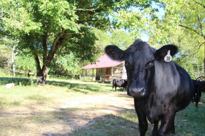 Corner Pit BBQ - beef cattle