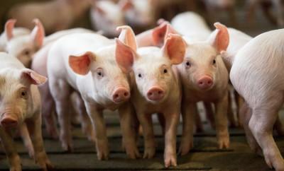 pork facts