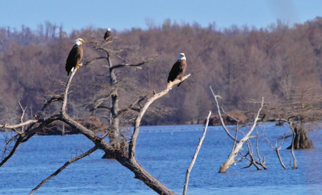 Bald eagles in TN