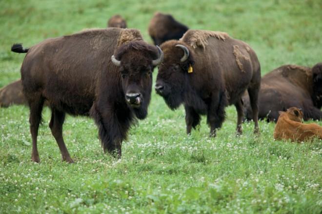 Red Cedar Bison