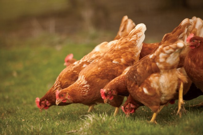 farm facts: chickens