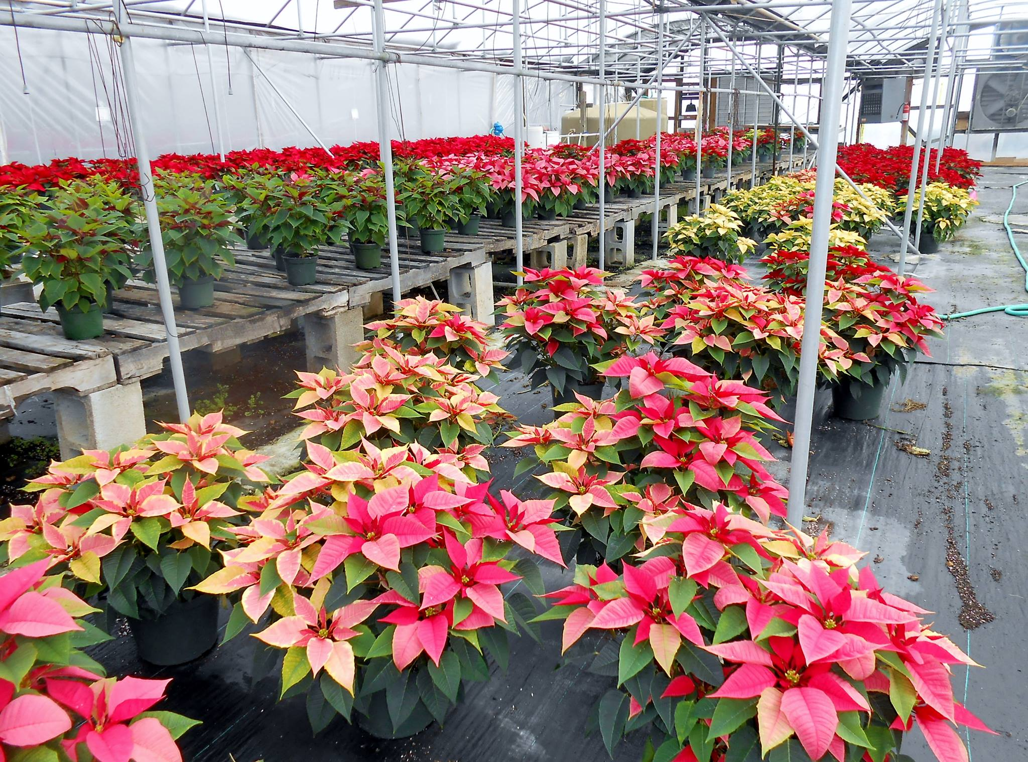 Where To Find Poinsettias In Pall Mall