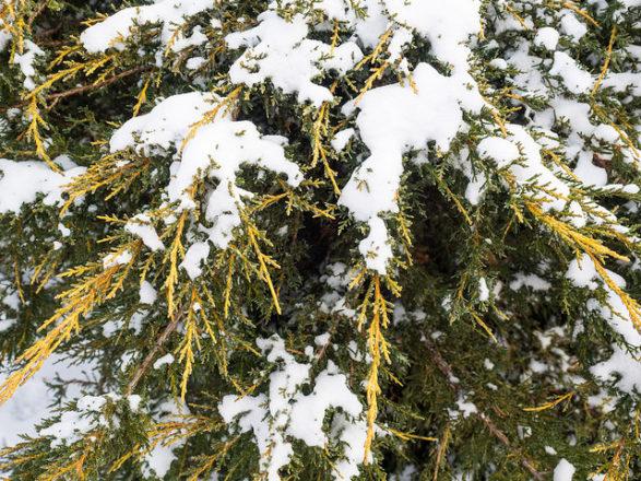 pfitzer juniper