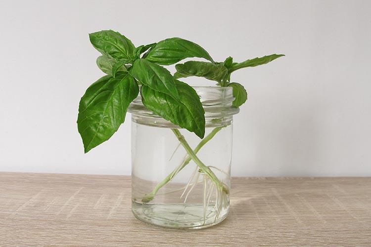regrow herbs; basil