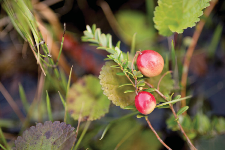 Tennessee cranberry bogs