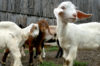 Fainting Goats, Music and More at Lewisburg Festival